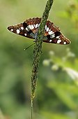 Butterfly in the dry valley of the Peleus Coast France