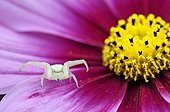 Goldenrod Spider on a Cosmos flower in summer France