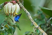 Purple Honeycreeper on fruit in the forest French Guiana