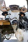 Oxen yoked Ecomuseum Vosges Haute-Alsace France