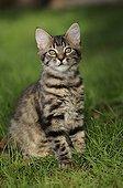 Chat européen brown tabby à poils longs assis dans l'herbe