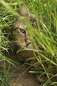 Chat européen brown tabby à poils longs caché dans l'herbe