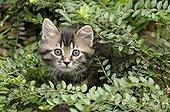 Chat européen brown tabby à poils longs dans un buisson