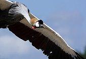 Crowned Crane landing Bird Park Dombes France