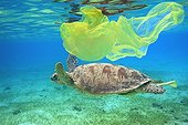 Female green turtle swimming above a herbarium Comoros