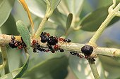 Cochineal black olives on a tree branch France ; Adult females are surrounded by ants come to feed on their honeydew
