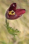 Pasqueflower in the spring Haute-Loire France