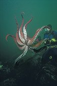 North Pacific Giant Octopus parachutes down on prey