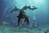 Shark feeding on bait with schooling sharks and reef fish