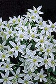 """Star-of-Bethlehem flowering in the Spanish Pyrenees ; Used as a medicinal plant and in the """"Bach Flower""""."""