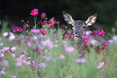 Young Red Deer in a flowered fallow Center France