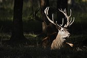 Red deers lying back to back Haute-Touche Centre France