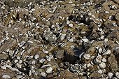 Pacific Oysters on rock from oyster beds Britain France