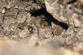Germanic wasp makes its nest with a hole in rodent France