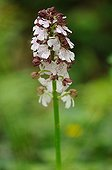 Burnt Orchid in bloom in spring Normandy France