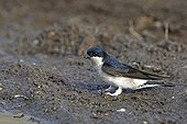 Common House martin collecting mud to build its nest Pologne