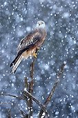 Red kite on a tree in snow storm GB