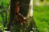 Red squirrel on the trunk of a beech in Normandy France