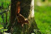 Ecureuil roux sur le tronc d'un Hêtre en Normandie France