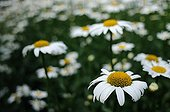 Disc mayweed in summer Normandy France