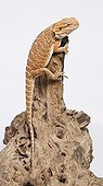 Bearded dragon on a branch on a white background Australia
