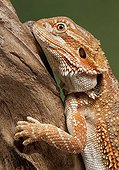 Portrait of Bearded dragon on a branch on a green background