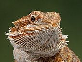 Portrait of Bearded dragon on a green background