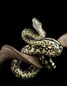 Carpet Python cheynei on a branch on black background