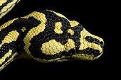 Portrait of Carpet Python cheynei on black background