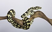 Carpet Python cheynei on a branch on white background