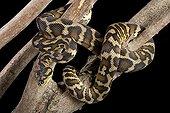 Carpet Python variegata on a branch on black background
