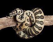 Carpet Python mcdowelli 'Jaguar' on a branch