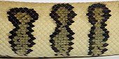Close up of Carpet Python mcdowelli 'Jaguar'