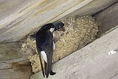 Northern house-martin at nest Norway