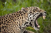 Jaguar yawning Encontros das Aguas Pantanal Brazil