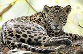Jaguarlying Encontros das Aguas Pantanal Brazil