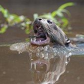 Giant Otter swallowing a fish Pantanal Brazil