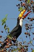 Toco Toucan eating fruit Pantanal Brazil