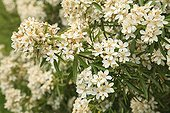 Mexican orange blossom 'Aztec Pearl' in bloom in a garden