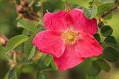 Rosier en fleur dans un jardin