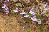 Linaire cymbalaire en fleur dans un jardin