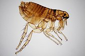 Microscopic view of male cat flea on white background
