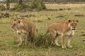 Deux Lionnes dans la RN du Masaï Mara Kenya