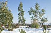 Young eucalyptus under snow in a garden