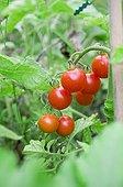 Tomatoes cherry 'Super sweet 100 F1' in a kitchen garden
