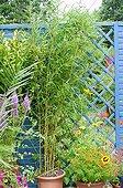 Bamboo 'Aureocaulis'  in pot on a flowered garden terrace