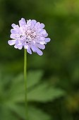 Wood scabious in bloom in spring