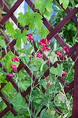 Sweet pea in bloom in a garden