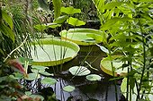 Giant Water Lily in the tropical greenhouses Sens