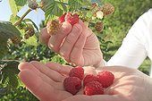 Harvest of raspberries in a garden